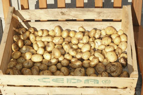 Erste Kartoffelernte von unseren Kartoffeltürmen