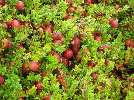"""Cranberry leitet sich aus crane berries (""""Kranichbeeren"""") ab"""