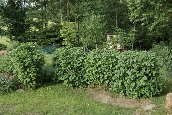 Unsere drei Kartoffeltürme, ist zugleich ein hingucker! Und daneben die Topinambur, die mehrjährige krautige Pflanze wird bis zu drei Meter hoch. Die Topinambur trägt eine wunderschöne gelbe Blüte, die schmackhaften Knollen befinden sich unter der Erde.