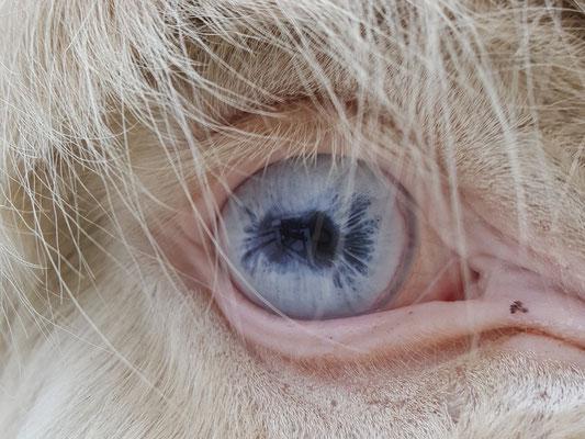 Eine Besonderheit unter den Eseln stellt der Österreichisch-Ungarische Weiße Barockesel mit seinem cremfarbenen Fell und den hellblauen Augen dar.