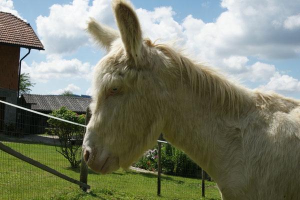 Samuel- Der Weiße Barockesel Eine Besonderheit unter den Eseln stellt der Österreichisch-Ungarische Weiße Barockesel mit seinem cremefarbenen Fell und den hellblauen Augen dar.