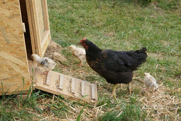 Unsere erste Gluckhenne (Harco-Schwarz Henne) mit ihren Küken.
