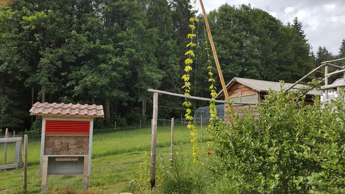 Wildbienen - Nützlingshotel und im Hintergrund der Goldhopfen