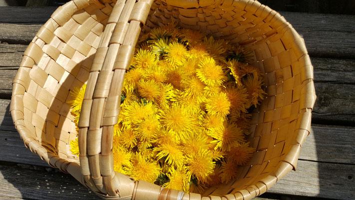 Löwenzahnblüten für Sirup