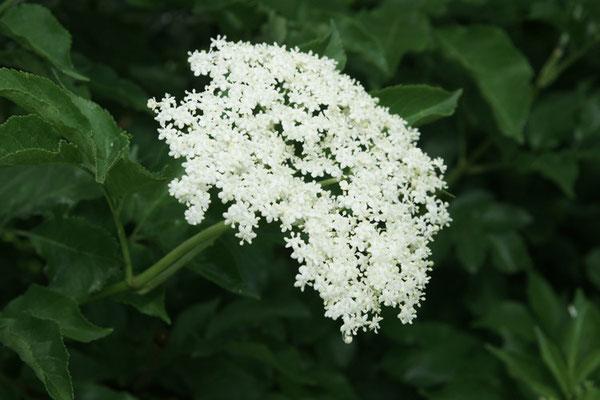 Holunder-Blüte