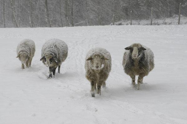 Unsere Schafe genießen den Winter sehr, die sind lieber im freien wie in der Hütte.