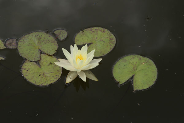 Nymphaea Gold Medal