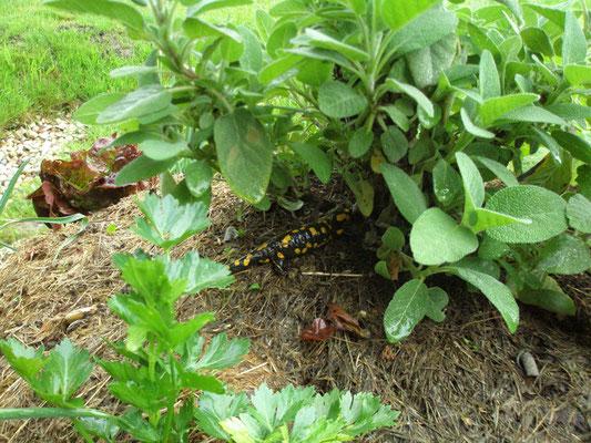 Ein Feuersalamander (Salamandra salamandra) besucht unser Hügelbeet