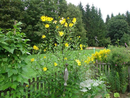 Topinambur ist eine Pflanze aus der Familie der Korbblütler und zählt zur selben Gattung wie die Sonnenblume. Sie ist eine Nutzpflanze, deren Wurzelknolle primär für die Ernährung genutzt wird.
