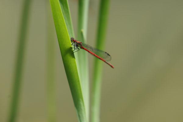 Männchen der Frühen Adonislibelle