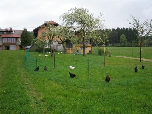 Unsere Hühner bekommen jede Woche ein Neues Grüngehege.
