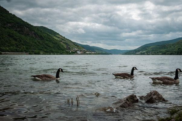 Gänse am Rhein
