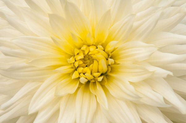 Dahlie weiß Albion Chrysanthemum Gartenchrysantheme Gartenpflanze Zierpflanze Großblütige Dahlien dekorativ