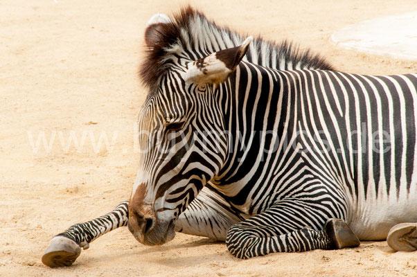 Zebra Säugetier Pferd ähnliches Tier mit schwarz-weißem Körper