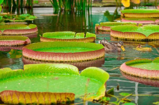 Teichpflanze Wasserpflanze Wasserblatt Ente auf der Nahrungssuche zwischen den Wasserblättern