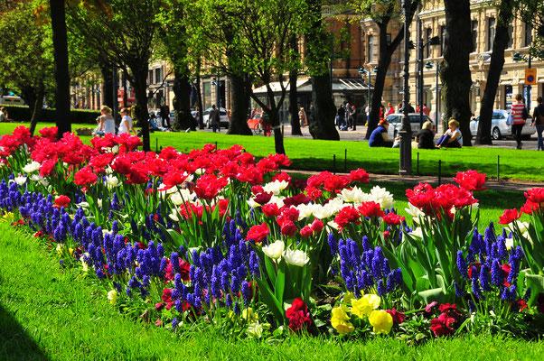 Blumenbeete voller Tulpen in Parks von Helsinki