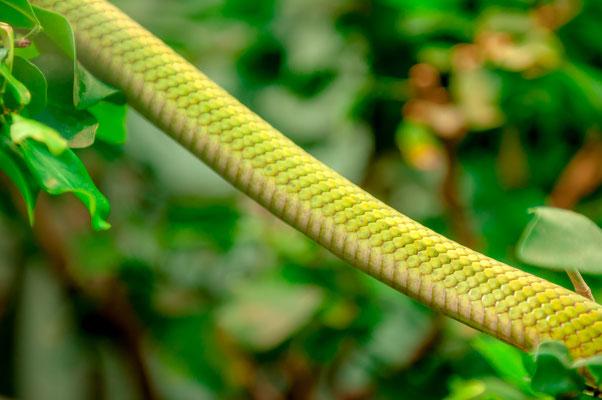 Der Körper einer Südamerikanischen Langnasen-Strauchnatter eine Schlangenart aus Nord-Argentinien, Bolivien und Paraguay