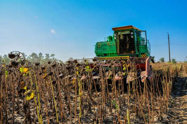 Mähdrescher bei der Sonnenblumenkern-Ernte