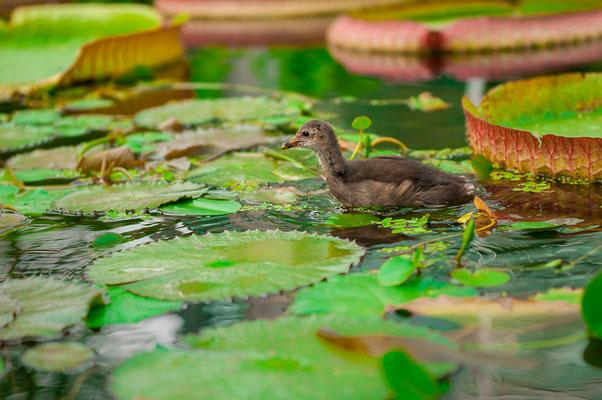 Ente Kleines Entlein auf der Nahrungssuche in einem Gartenteich
