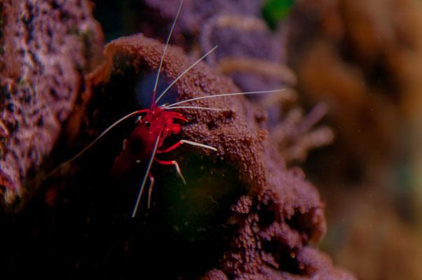 Roter dekorativer Krebs kriecht aus seinem Versteck