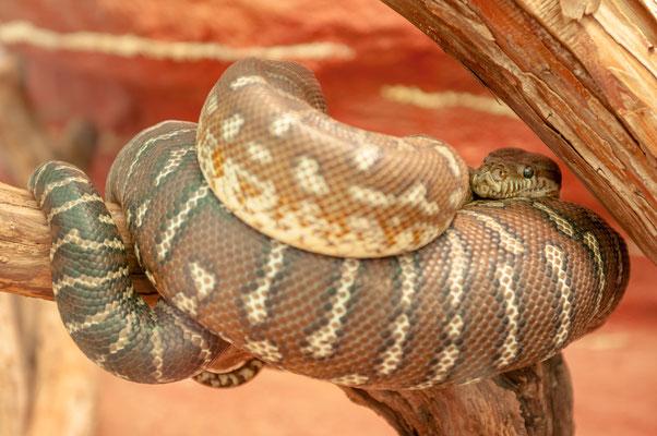Bredl´s Pyton aus Zentral-Australien