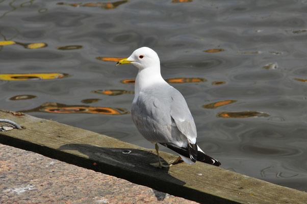 Meeres-Vogel Möwe an der Promenade