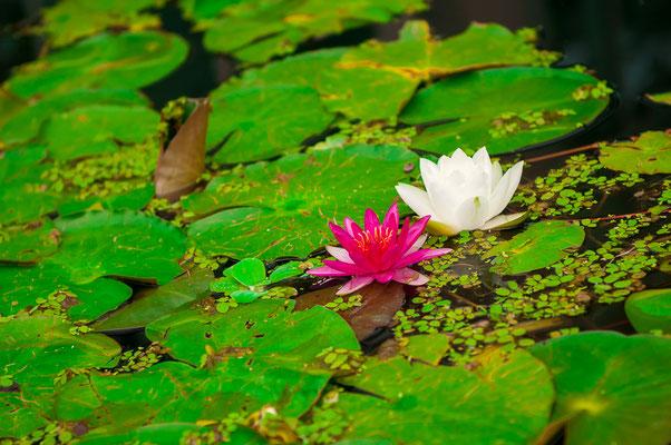 Rosa Seerose Princess Elisabeth Nymphea für das Aquarium oder Gartenteich Wasserpflanze Wasserrose Teichrose Teichpflanze