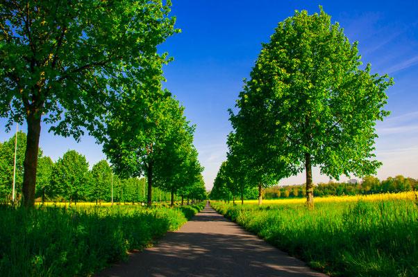 Gehweg durch eine wunderschöne sommerliche Linden-Allee
