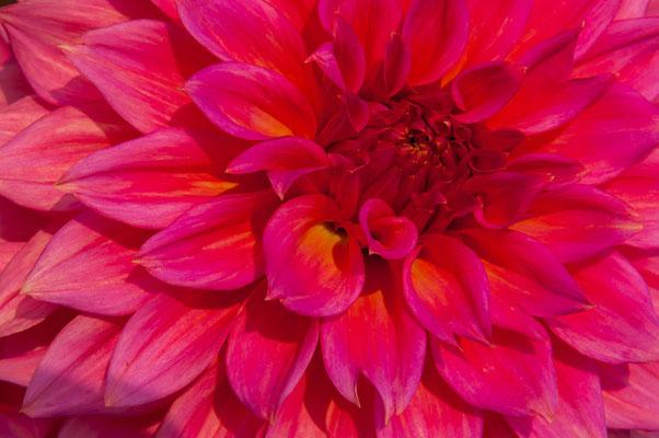Hapet Burgundy Dahlie purpur gelbe Glut gelber Grund Chrysanthemum Gartenchrysantheme Gartenpflanze Zierpflanze Großblütige Dahlien dekorativ Semi-Kaktusdahlien