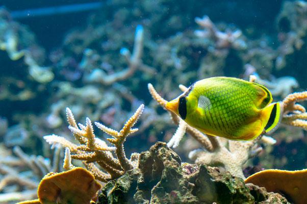 Raffles Schmetterlingsfisch vorbeistreifend an den Korallen