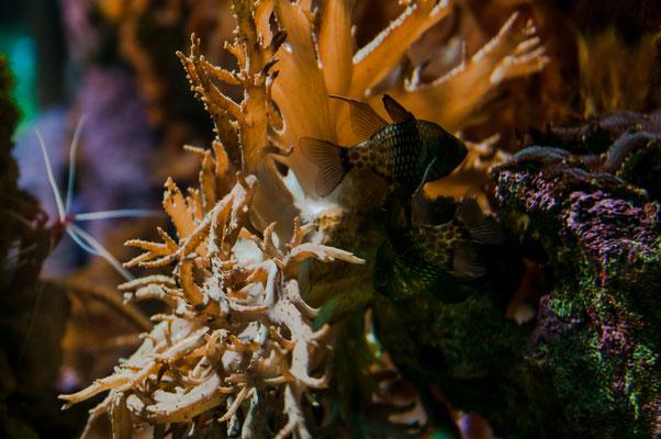 Zwei kleine Fische verstecken sich zwischen den Korallen