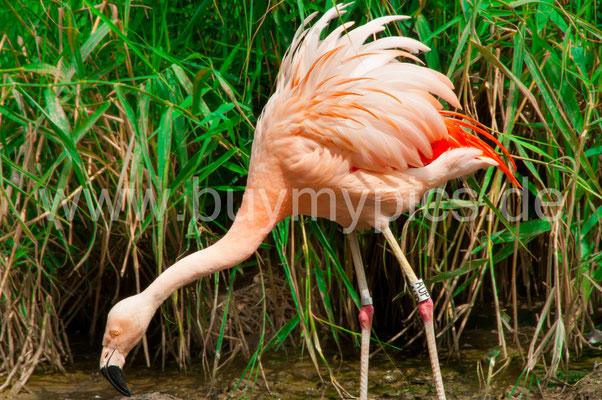 Männlicher Flamingo mit hochgestecktem Gefieder auf Weibchensuche