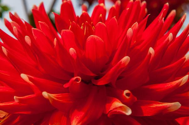 Rote Dahlie mit gelben Spitzen Alauna Double Jeu Chrysanthemum Gartenchrysantheme Gartenpflanze Zierpflanze Großblütige Dahlien dekorativ