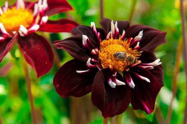 Biene auf einer Dahlie Eos Chrysanthemum Gartenchrysantheme Gartenpflanze Zierpflanze Großblütige Dahlien dekorativ