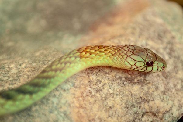 Der Kopfteil einer grünen Mamba, einer der giftigsten Schlangen-Arten aus dem tropischen Zentral-Afrika