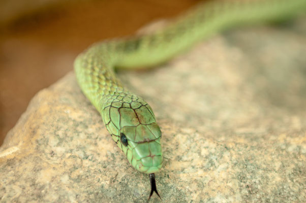 Grüne Mamba eine der giftigsten Schlangen-Arten aus dem tropischen West- und Zentral-Afrika