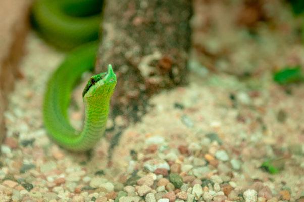 Südamerikanische Langnasen-Strauchnatter eine Schlangenart aus Paraguay