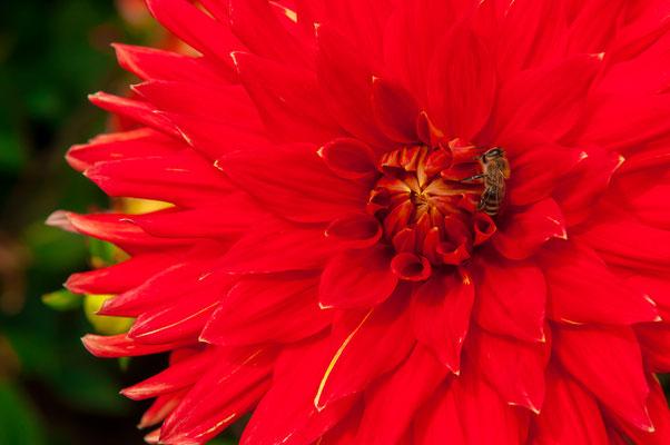 Dahlie rot mit gelben Spitzen Alauna Double Jeu Chrysanthemum Gartenchrysantheme Gartenpflanze Zierpflanze Großblütige Dahlien dekorativ