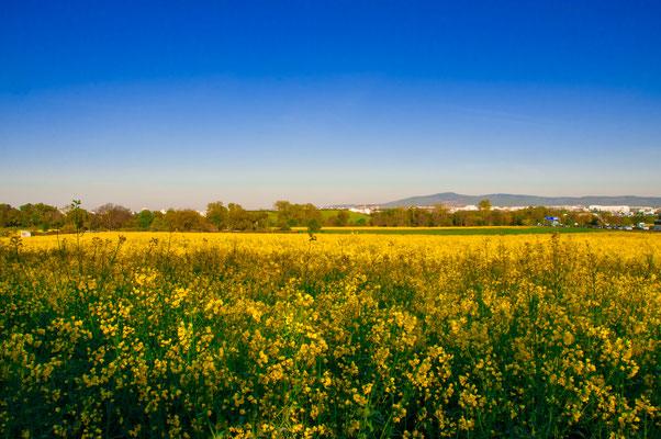 """Rapsfeld in voller Blüte, Wunderschöne gelbe """"Rapsdecke"""""""