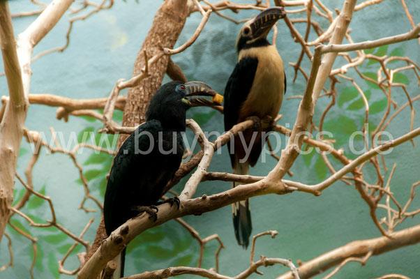 Männchen Visayas-Tariktik-Hornvogel bietet seinem Weibchen zu Essen an