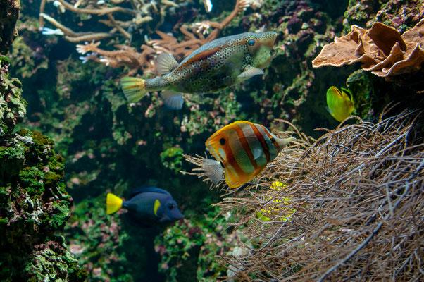 Gelber Kofferfisch, Streifenpinzettfisch und der Raffles Schmetterlingsfisch