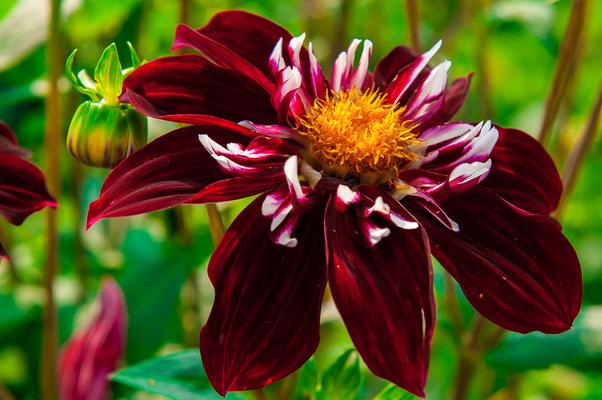 Eos Dahlie Chrysanthemum Gartenchrysantheme Gartenpflanze Zierpflanze Großblütige Dahlien dekorativ