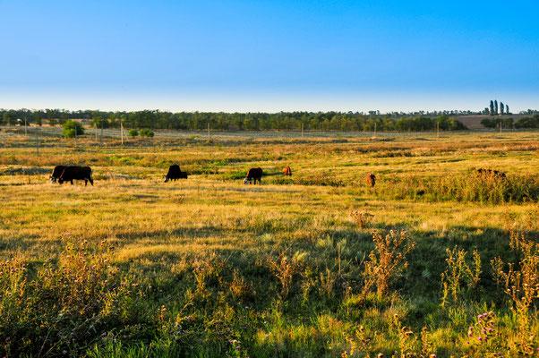 Weiden mit Kühen in Stawropolskij krai