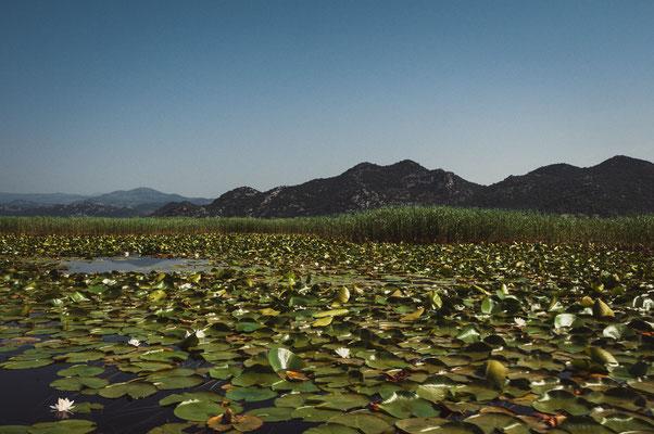 Landschaftsfoto vom Skadarsee voller Seerosen mit Blick auf die Berglandschaft