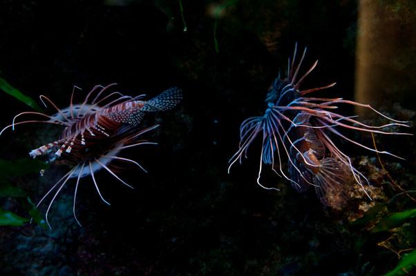 Exotische Fische aus den Gewässern Bali und Indonesien