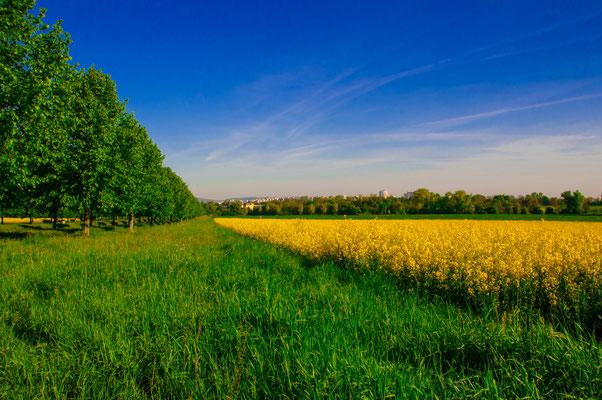 Wunderschöne landwirtschaftliche Landschaft mit einem Rapsfeld mitten in Frankfurt am Main