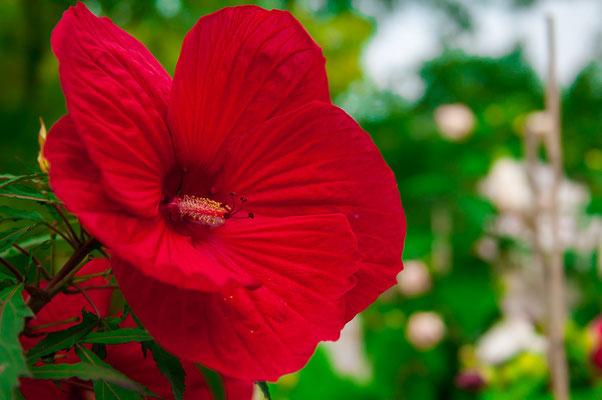 Großer roter Riesenhibiscus Blüte Riesenblüte Gartenpflanze Zierpflanze