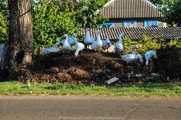 Typisches Dorfleben und die Haustiere in der Hauptrolle immer die Gänse, Enten oder Hühner