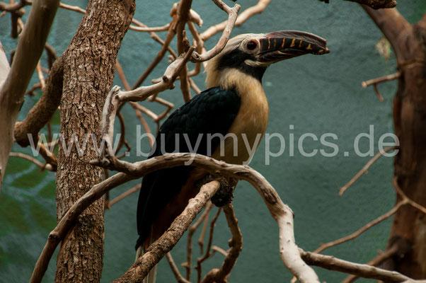 Visayas-Tariktik-Hornvogel Nashornvogel  aus Philippinen