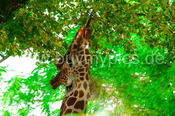 Giraffe isst Baumblätter Säugetier mit braunen Flecken am Körper
